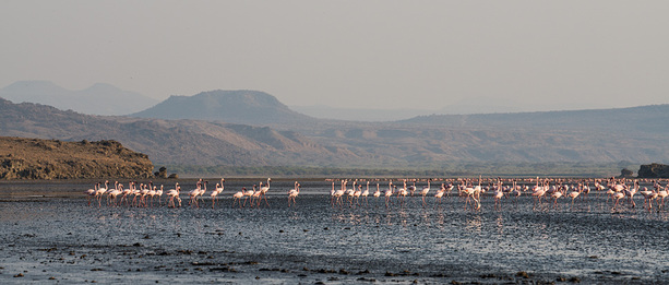 Flamingos am Lake Natron