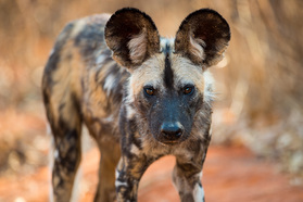Wildhund im Mana Pools Nationalpark