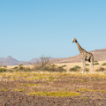 Giraffe in der Palmwag Concession