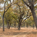 Lichter Herbstwald im North Luangwa Nationalpark