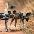 Wildhunde im Mana Pools Nationalpark