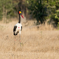 Sattelstorch im Mana Pools NP