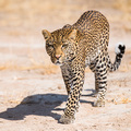 Leopard im Ruaha Nationalpark