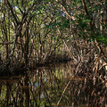 Dickicht in den Mangroven der Everglades in Florida